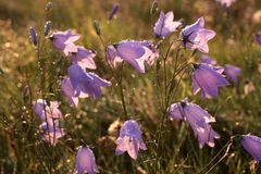 Flor de Bell com orvalho da manhã Imagem de Stock Royalty Free