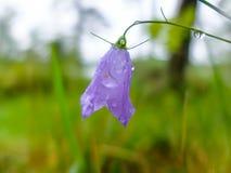 Flor de Bell con descensos de rocío de la mañana Fotografía de archivo libre de regalías