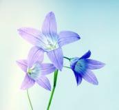 Flor de Bell en azul fotografía de archivo libre de regalías