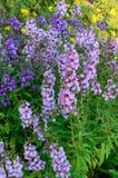 Flor de Benth del goyazensis de Angelonia fotos de archivo libres de regalías