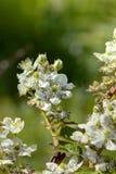 Flor de Blackberry Foto de archivo
