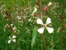 Flor de blanco del vesicaria del Eruca foto de archivo