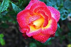 Flor de Blommy Imagens de Stock