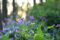 Flor de ŒBlue do ¼ do ï do violaceus de Orychophragmus foto de stock
