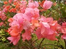 Flor de Boganvillea Imagem de Stock