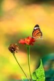 Flor de borboleta Imagem de Stock Royalty Free