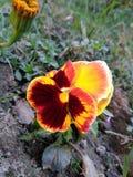 Flor de borboleta Imagens de Stock Royalty Free