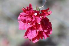 Flor de Bouganvillea imagens de stock royalty free