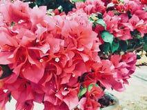 Flor de Bougaville en el jardín fotos de archivo libres de regalías