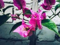 Flor de Bougenvillia Foto de Stock