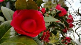 Flor de brotamento/de florescência do vermelho foto de stock