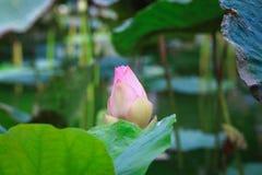 Flor de Bud Lotus o nucifera del Nelumbo foto de archivo