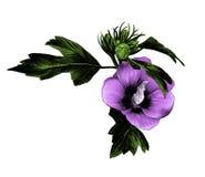 Flor de Bud Siberian do hibiscus com folhas ilustração do vetor