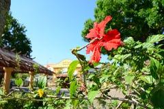 Flor de Bunga Raya en parque fotos de archivo libres de regalías