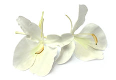 Flor de Butterflylily ou de Dolanchapa do sudeste como Imagem de Stock