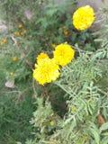Flor de 3 Calendula con el árbol fotografía de archivo