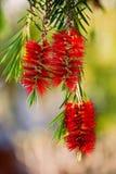 Flor de Callistemon Foto de Stock