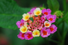 Flor de Camara do Lantana Fotos de Stock Royalty Free