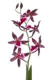 Flor de Cambria Imagem de Stock