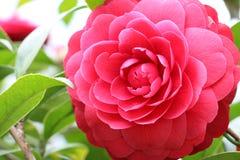 Flor de Camelia Imágenes de archivo libres de regalías