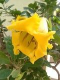 Flor de campana amarilla foto de archivo libre de regalías
