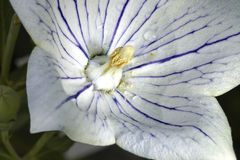 Flor de campana blanca Fotos de archivo libres de regalías