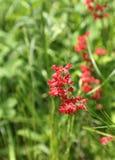 Flor de campanas coralina Fotos de archivo libres de regalías