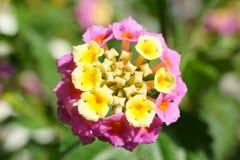 Flor de Candytuft com botões Fotografia de Stock