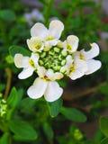Flor de Candytuft del cono de la nieve Fotos de archivo libres de regalías