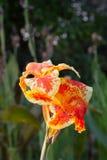 Flor de Canna Fotografía de archivo