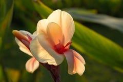 Flor de Canna Fotos de archivo libres de regalías