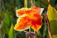 Flor de Canna Fotografía de archivo libre de regalías