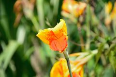 Flor de Canna fotografia de stock royalty free