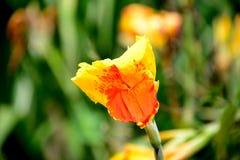 Flor de Canna Foto de Stock