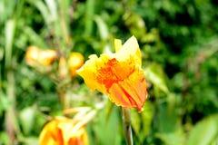 Flor de Canna Fotografia de Stock