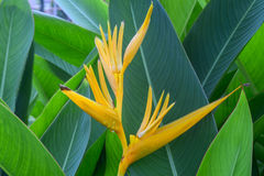 Flor de Canna Foto de Stock Royalty Free
