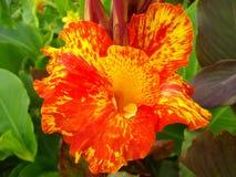 Flor de Canna Imagens de Stock Royalty Free