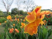Flor de Canna indica Foto de Stock