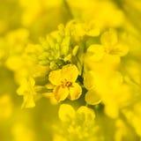 Flor de Canola Imagen de archivo libre de regalías