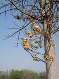 Flor de Canonball ou de guianensis de Couroupita flor Imagem de Stock Royalty Free