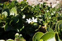 Flor de Carissa Grandiflora, flores blancas con olor fuerte fotografía de archivo libre de regalías