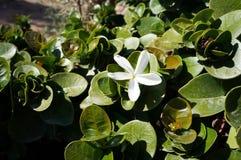 Flor de Carissa Grandiflora, flores blancas con olor fuerte imagenes de archivo