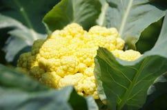 Flor de Cauli Fotografía de archivo libre de regalías