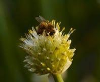 Flor de cebollas y de una abeja Imagen de archivo libre de regalías