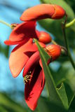 Flor de Ceibo Fotos de archivo libres de regalías