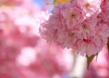 Flor de cereja. Imagens de Stock Royalty Free