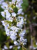 Flor de cereja fotografia de stock