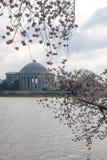 Flor de cereja. Fotografia de Stock Royalty Free