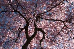 Flor de cereja Fotos de Stock Royalty Free