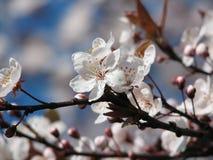 Flor de cereja fotografia de stock royalty free